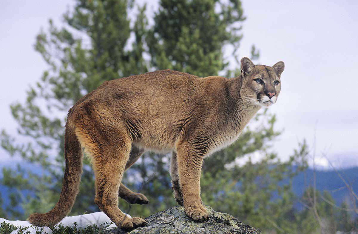 There Are No Mountain Lions In Connecticut So Why Do We Keep Seeing Them The Connecticut Story Connecticutmag Com