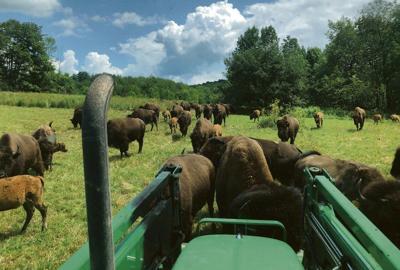 Buffalo roaming after escape from Sharon farm