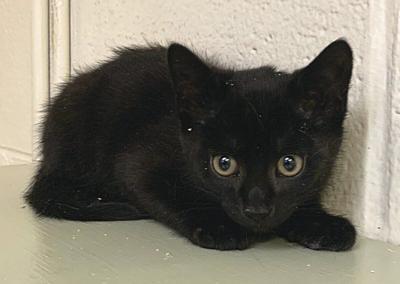 SQSPCA seeks help socializing feral kittens