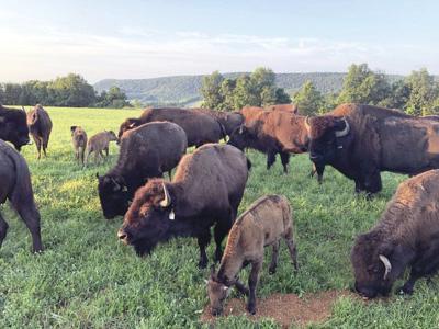 Buffalo cause damage, safety concerns