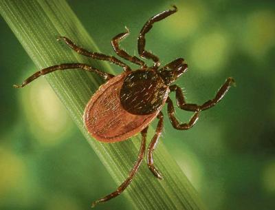 Ecologist: Brace for the return of deer ticks