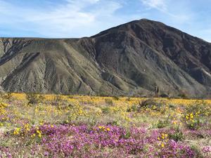 A Desert Super Bloom ...