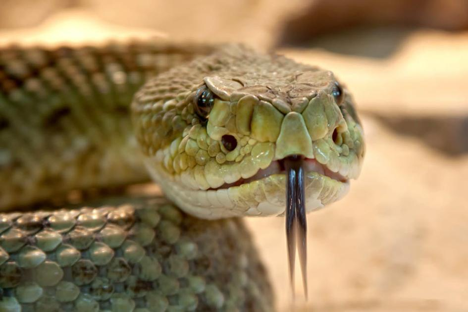 Straight facts about snakes | News | corsicanadailysun.com