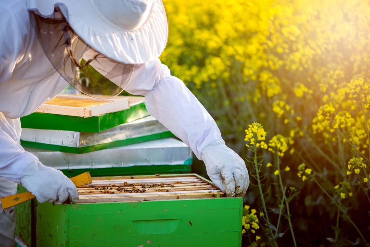 CSB-Apiarist-Pulling-Bees-From-Hive.jpg