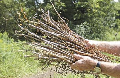 gopher garlic