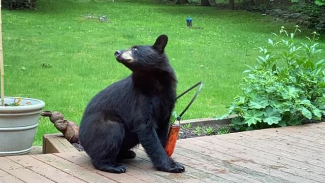 The bears are back in town: CT DEEP urges residents not to feed them