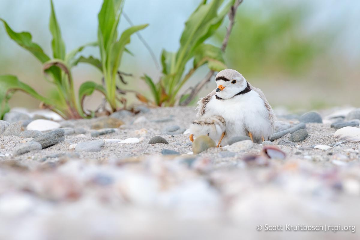 2019 a good year for Connecticut's piping plovers, oystercatchers