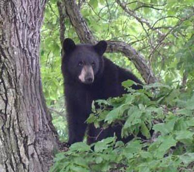 Motorcycle rider recovers after Washington bear incident