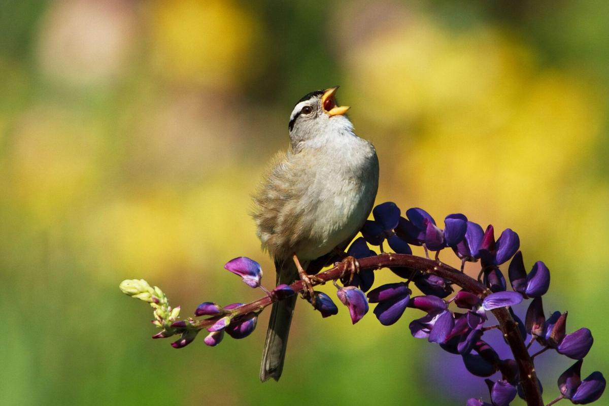 Robert Miller: For little brown sparrows, it's their turn