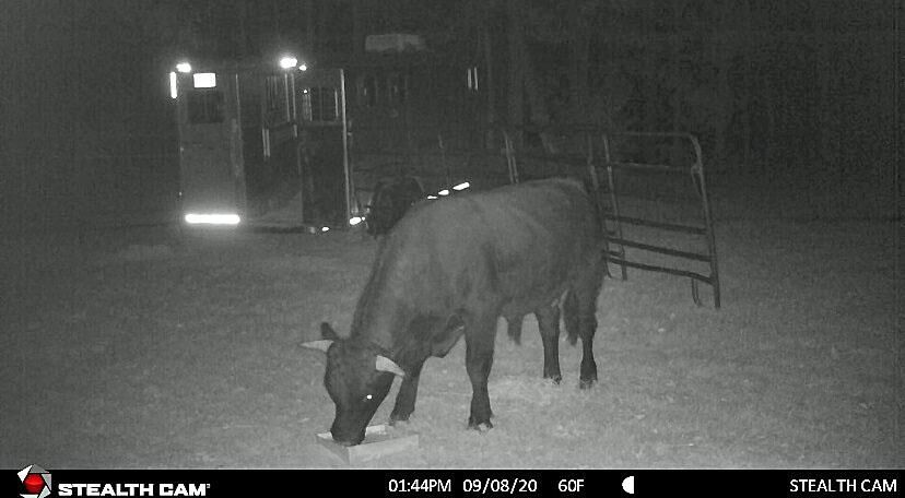 After 7 weeks on the lam, the latest on 'Buddy the Beefalo'