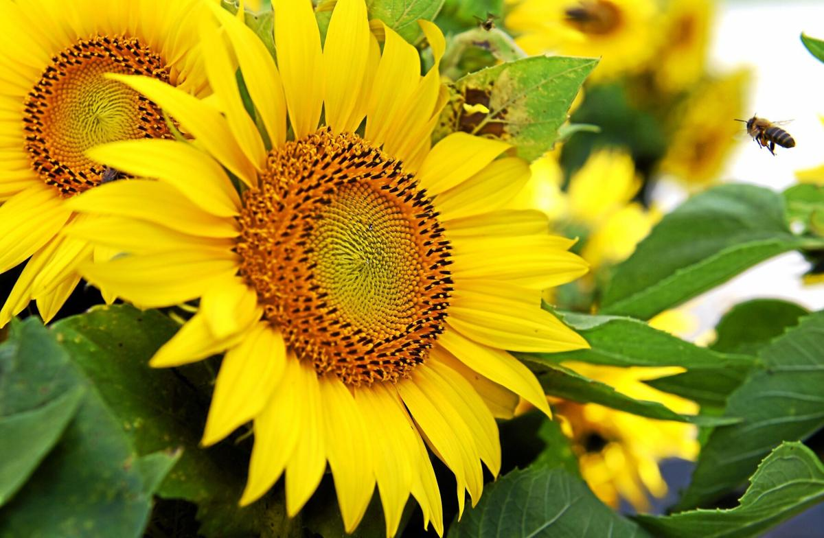 Woodbury's The Farm celebrates sunflower season