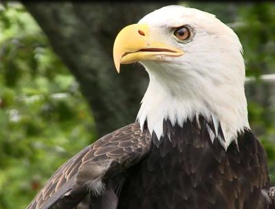 Mystery surrounds disappearance, return of CT bald eagle