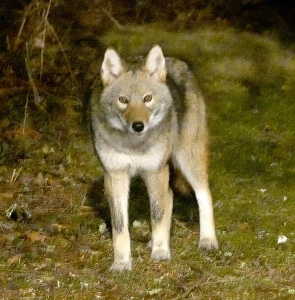 Falls Village: Virtual talk on CT's coyote population