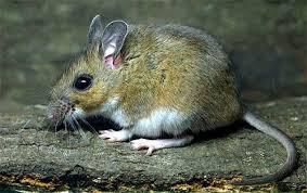 Cold weather means mice enticed to warm homes
