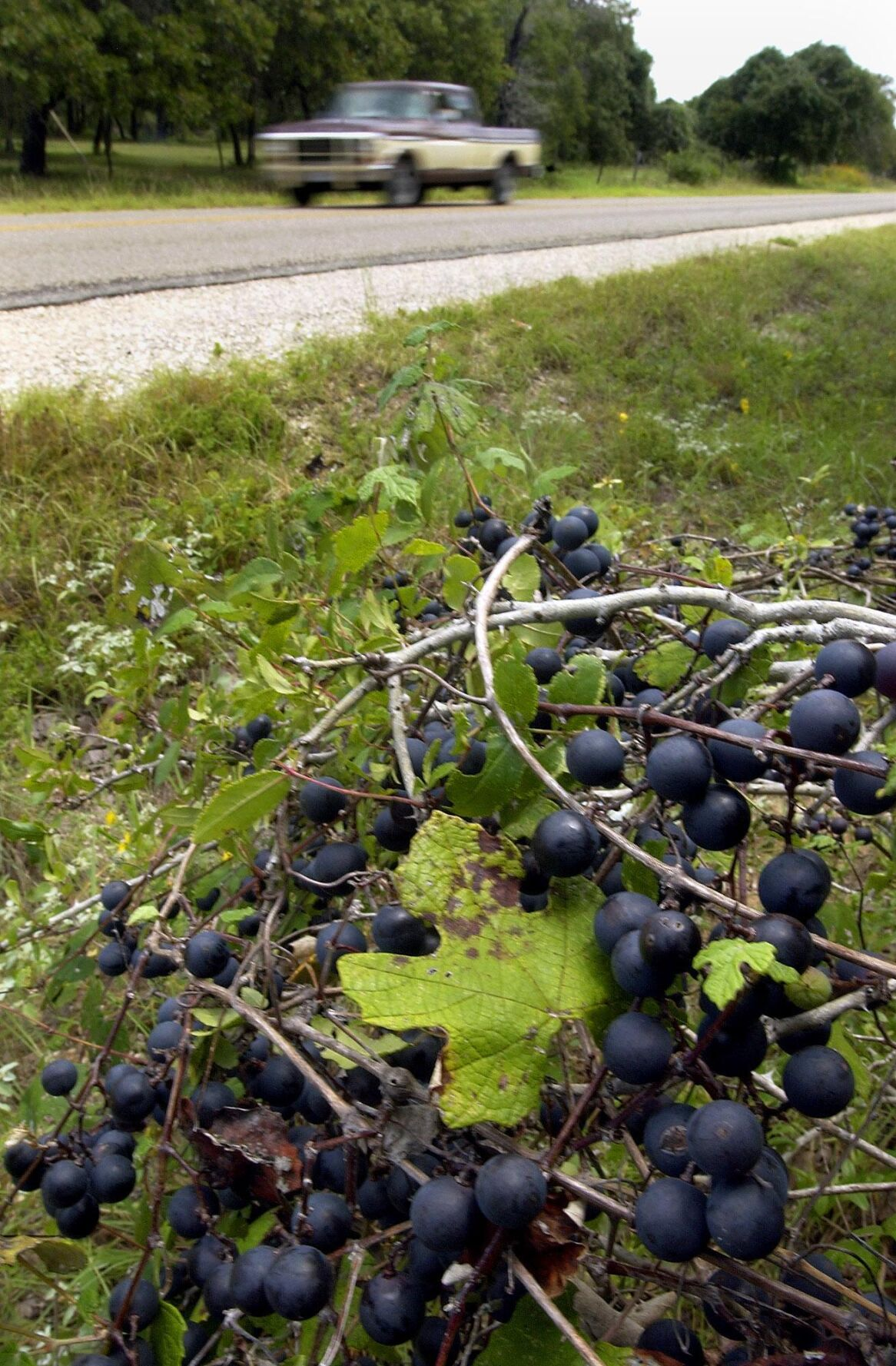 Robert Miller: Wild grape vines attract critters and kids alike