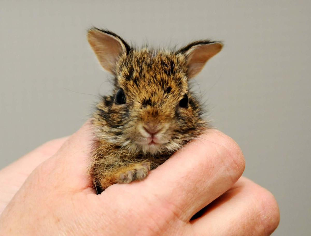 Robert Miller: With more people home, wildlife rehabilitators busier than usual
