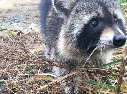 Robert Miller: That noise on your roof could be a raccoon