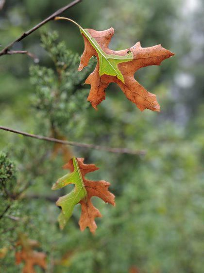 Robert Miller: On the lookout for fungus that kills oak trees