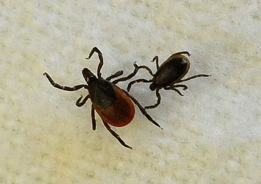 Robert Miller: On coronavirus cabin-fever walks watch for ticks