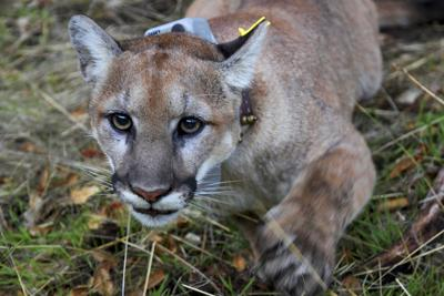 Another View: Are there mountain lions in Connecticut?