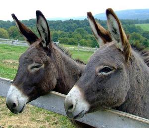 Miniature Donkeys As Pets
