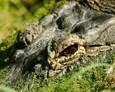 Alligator Hunt Registration Open Now