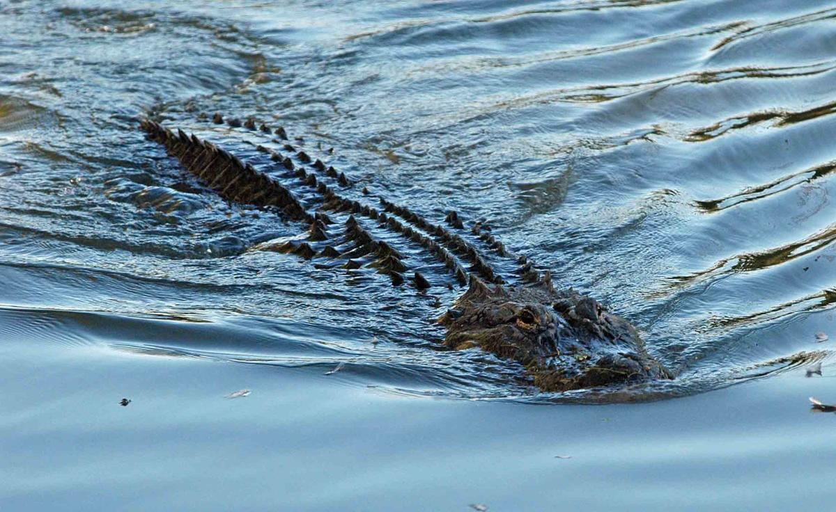 WFF Adds Coastal Zone to Alligator Season