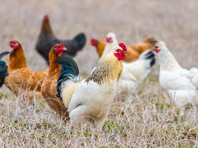 Pet Talk - Hen Molting: What To Egg-Spect