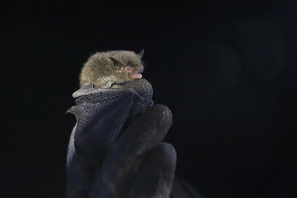 New Indiana Bat Hibernaculum Discovered in Alabama