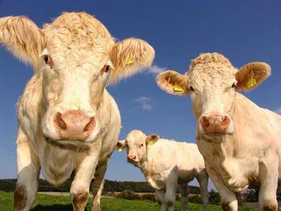 Pet Talk - Rabies' Warning Signs in Cattle