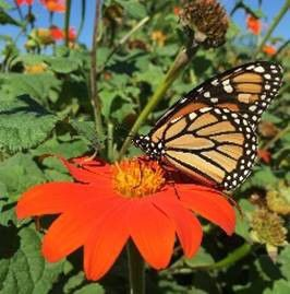 Monarch Butterfly in Bloomington-Normal, Illinois