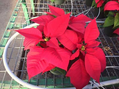 ***poinsetta sale-Christmas Red P 2016.jpg