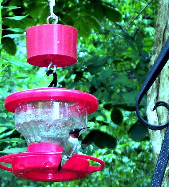 2015_6031 hummingbird.jpg