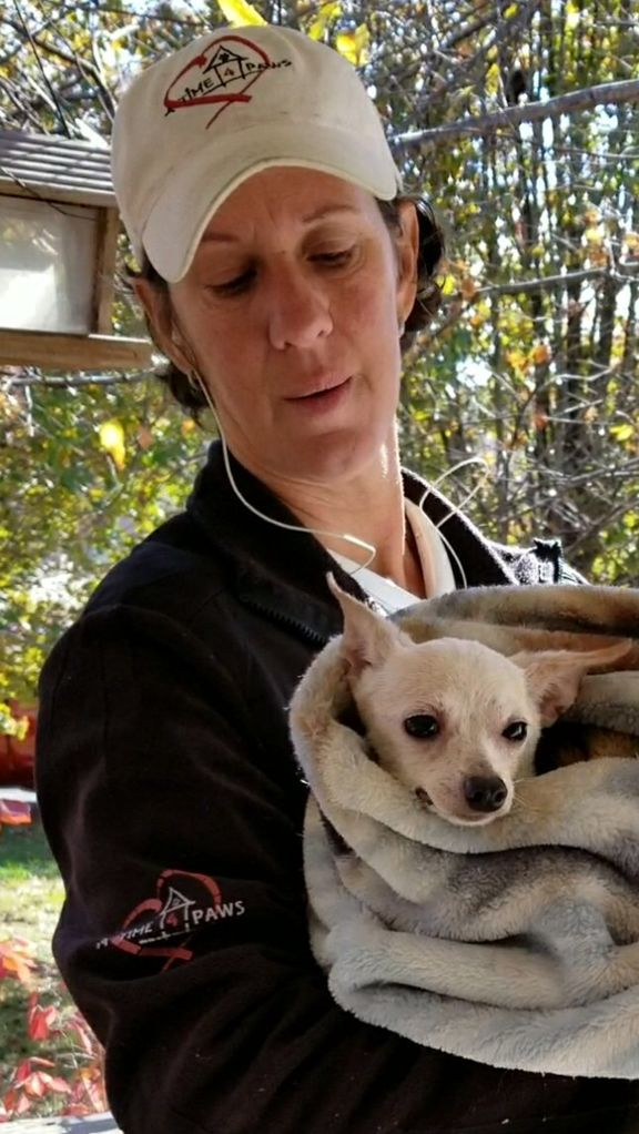 39 Chihuahua dogs rescued | Local News | crossville-chronicle com
