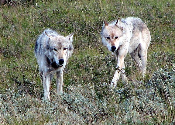 ENJOYING NATURE: Wolves in Tennessee | Glade Sun | crossville