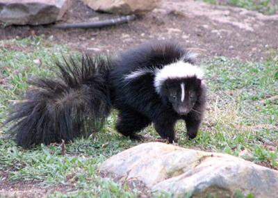Skunk In Backyard enjoying nature: how can anyone love a skunk? | glade sun