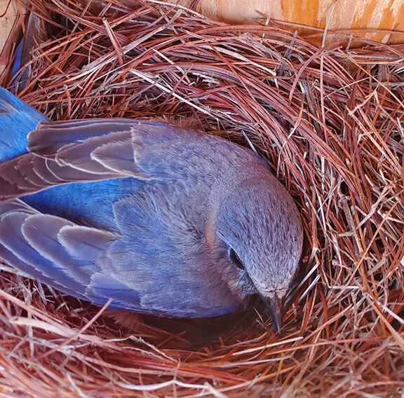 Bluebird mama on nest.jpg