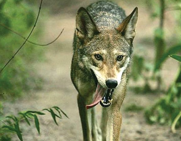 ENJOYING NATURE: Wolves in Tennessee? | Glade Sun | crossville