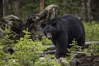 black-bear_960x720.jpg