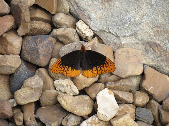 Male Diana Fritillary butterfly on rocks.JPG