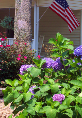 Master Gardener - hydrangea&Rose4162.JPG