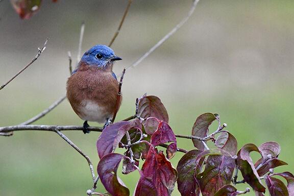 Bluebird - Bil Merrick.jpeg