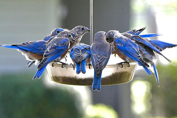 Bluebirds at feeder - Bill Merrick.jpeg