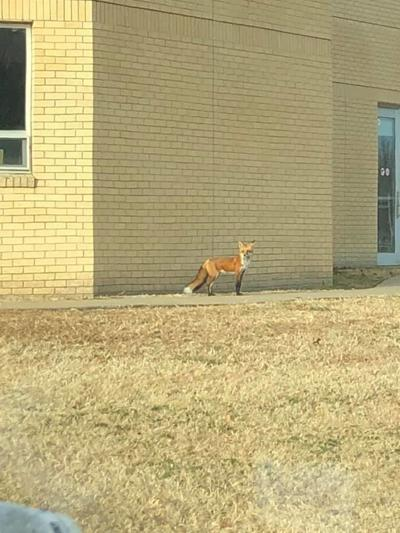Ark City residents share stories of fox sightings inside city limits