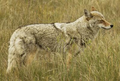 Mange in Kansas coyotes