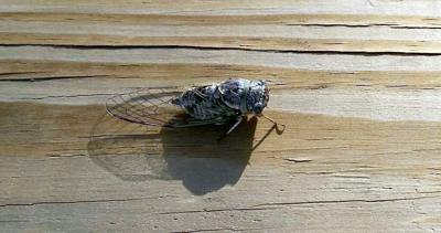 """""""Brood X"""" cicada"""
