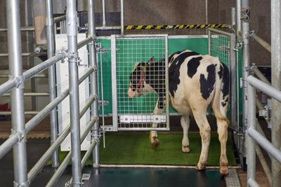 Toilet Training Cows