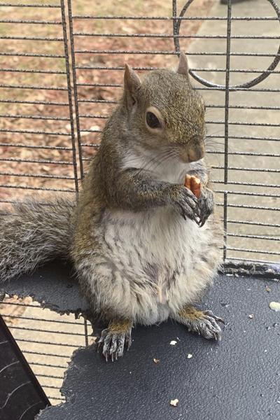 Attack Squirrel Meth