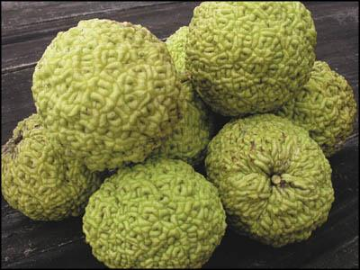 The osage orange – green alien brains?