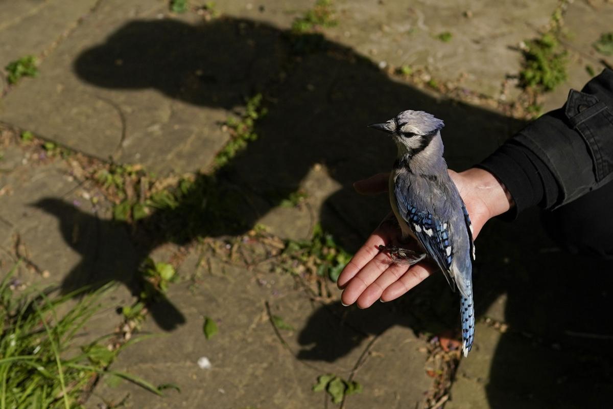 Explainer Songbird Mystery Illness